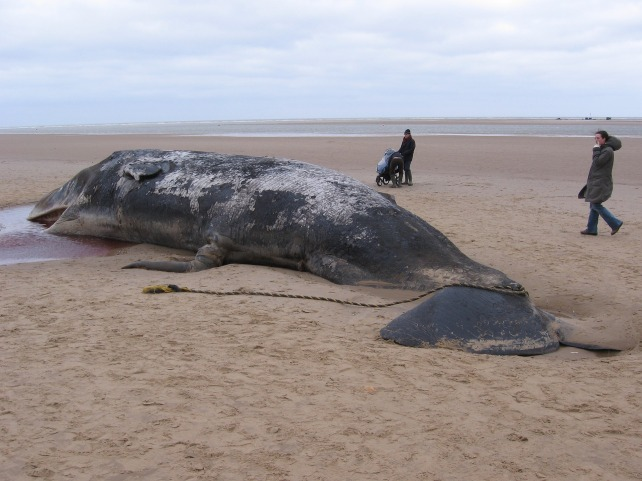 sperm-whale-904349_1920